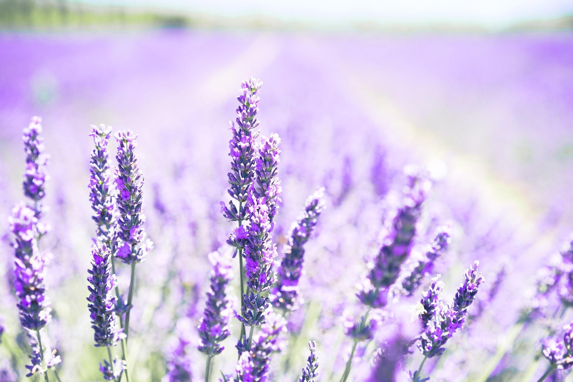 Aromateriapia - Olejek lawendowy na stres i stany lękowe