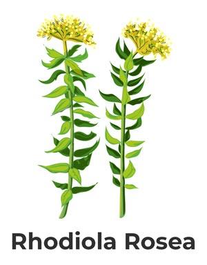 ilustracja kwiatu różeńca górskiego