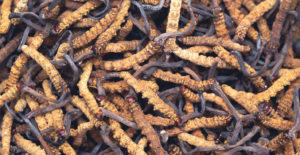 Grzyb Cordyceps - właściwości i dawkowanie