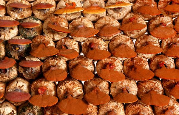 uprawa grzybów reishi