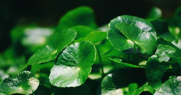 liście Centella Asiatica