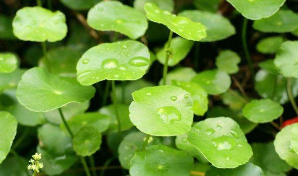 Gotu Kola liście - Działanie ekstraktu wąkrotki azjatyckiej