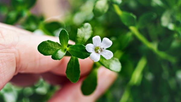 kwiat i liście bacopa monnieri