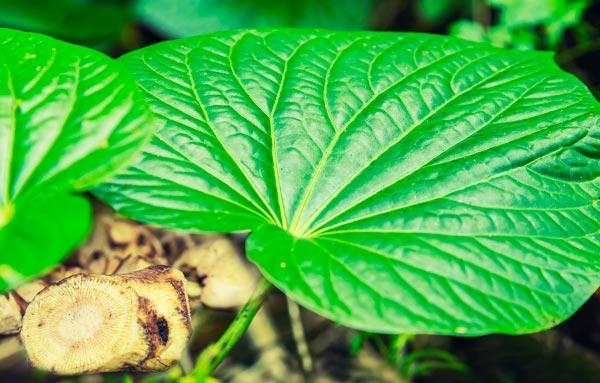 żywy, zielony liść pieprzu metystynowego