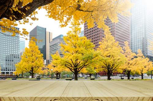 drzewa miłorzębu dwuklapowego w miejskim parku