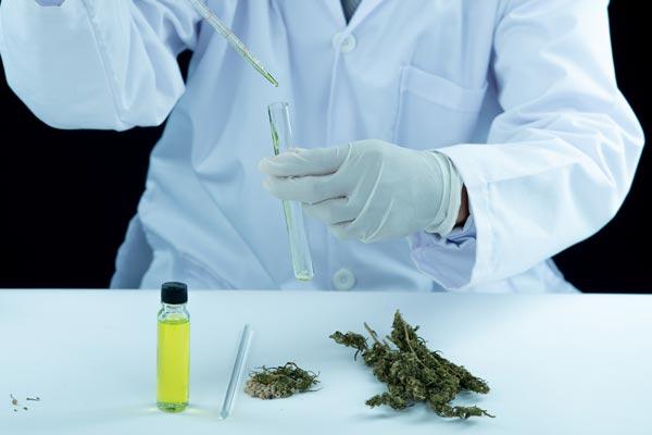 badanie marihuany i oleju konopnego przez laboranta