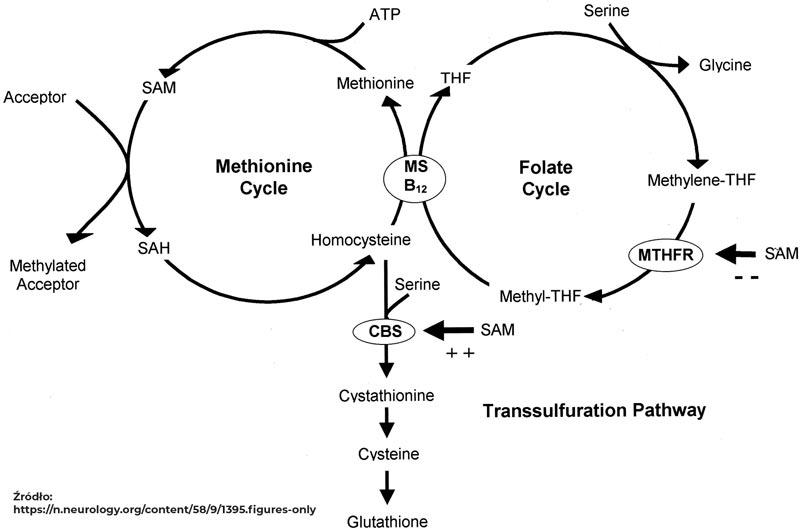 schemat cyklu kwasu foliowego i metioniny