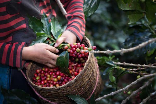 zbiór świeżych owoców kawy