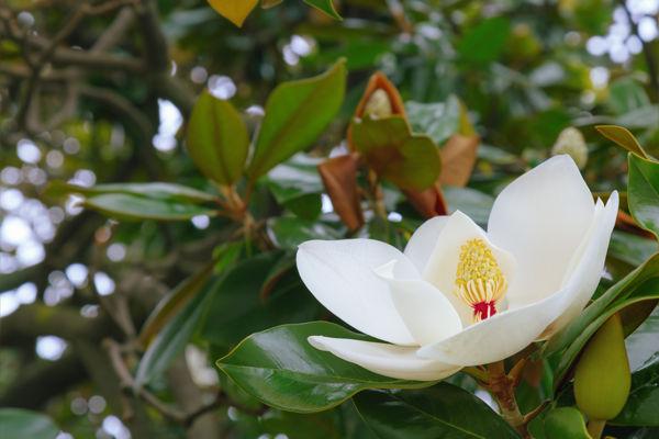 kwitnący kwiat magnolii lekarskiej