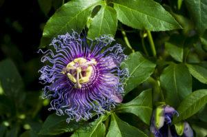 purpurowy kwiat passiflora incarnata na tle zielonych liści