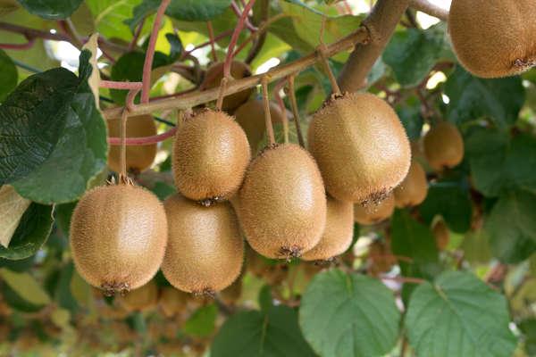 świeże owoce kiwi rosnące na drzewie