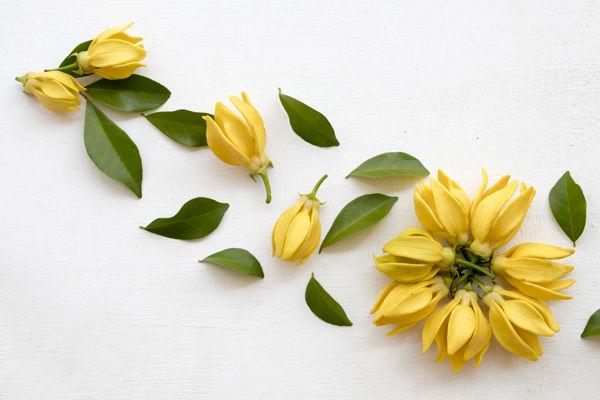 kwiaty ylang ylang